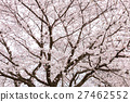 樱花 樱桃树 盛开 27462552