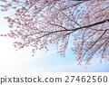 ดอกซากุระบาน,ซากุระบาน,ดอกไม้บานเต็มที่ 27462560