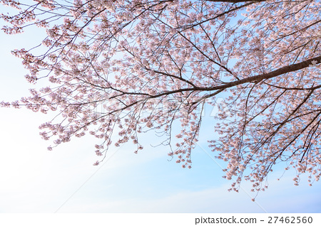 樱花 樱桃树 盛开 27462560