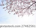 ดอกซากุระบาน,ซากุระบาน,ดอกไม้บานเต็มที่ 27462561