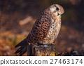 Kestrel sitting on stump 27463174