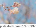 Cherry blossom 27466992