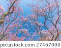 Pink cherry blossom 27467000