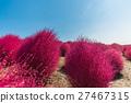 Bassia scoparia in Hitachi Park 27467315