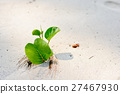 leaf Ipomoea on the beach 27467930