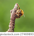 Bee cling to dry twig 27469893