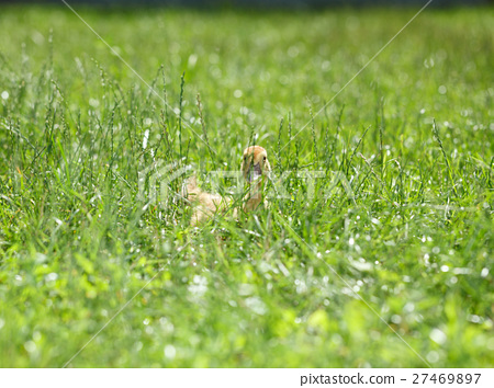 Chick hidden in grass 27469897