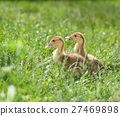 Two duckling in grass 27469898