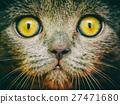 British Short Hair Cat Portrait 27471680