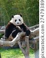 熊猫 大熊猫 哺乳动物 27479389
