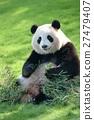 panda, pandas, Giant Panda 27479407