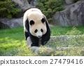 panda, pandas, walk 27479416