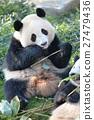 熊猫 吃 饮食 27479436