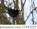 blackbird bird avian 27492037