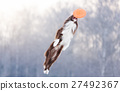 Border Collie in flying disk in the air 27492367