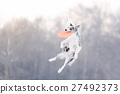 Border Collie in flying disk in the air 27492373