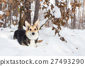 Pembroke welsh corgi in the winter forest. 27493290