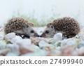 two Hedgehog 27499940