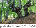 beech forest 27502558