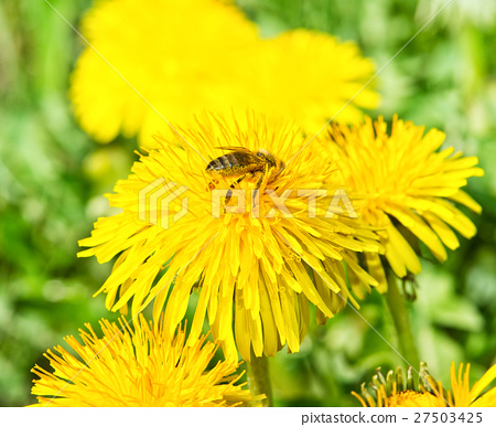Bee on dandelion in green grass. Spring time. 27503425