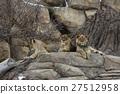 Lion 27512958