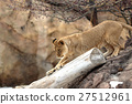 panthera leo, cat family, king of beasts 27512961