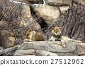 panthera leo, king of beasts, cat family 27512962
