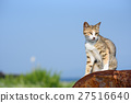 แมวน่ารักใน Aoshima ไก่ฟ้าสีขาวของแมวหยุดชั่วคราวบนกลองสามารถ 27516640