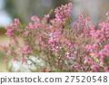 에리카의 꽃 27520548