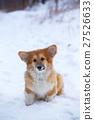 corgi fluffy puppy portrait 27526633