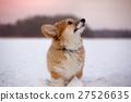 corgi fluffy puppy portrait 27526635