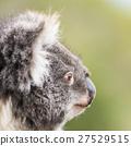 Koala by itself in a tree 27529515