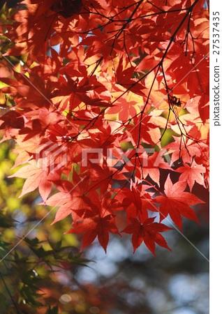 秋葉沐浴在光中 27537435