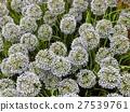 Artificial Giant Onion Flower or Allium Giganteum 27539761