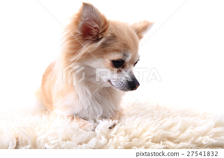 chihuahua is resting 27541832