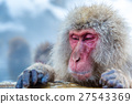 Snow monkey Macaque Onsen 27543369