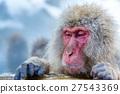 Snow monkey Macaque Onsen 27543369