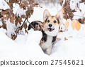 Pembroke welsh corgi in the winter forest. 27545621
