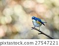 西伯利亞bluechat 鳥兒 鳥 27547221