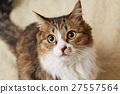 猫 猫咪 小猫 27557564