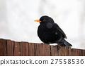blackbird, common, bird 27558536