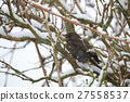 blackbird, common, bird 27558537