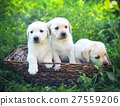 Group of golden retriever puppies in the yard 27559206