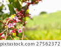 Blossom tiny pink flower, star fruit tree branch 27562372