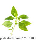 Green fresh sweet basil leafs isolated on white 27562383