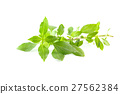 Green fresh sweet basil leafs isolated on white 27562384