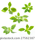 Green fresh sweet basil leafs isolated on white 27562387