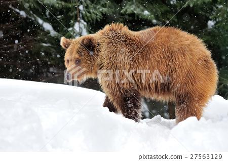 Bear 27563129