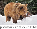 Wild brown bear 27563160