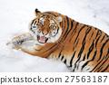 Tiger 27563187